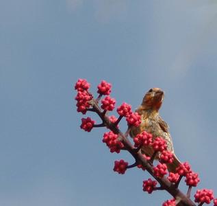 Juvenille Finch