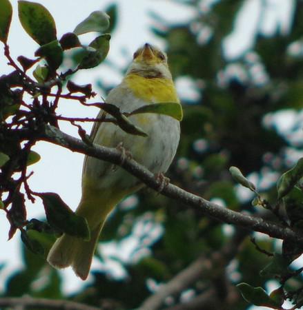 Hawaii  Birds 2016