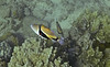 Wedgetail Triggerfish.  Also called Picasso Triggerfish - Hawaii State Fish -  Humuhumu nukunuku apua'a