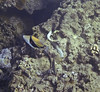 Wedgetail Triggerfish swimming next to Eel (possibly Stout Eel or Freckled Snake Eel - not sure)