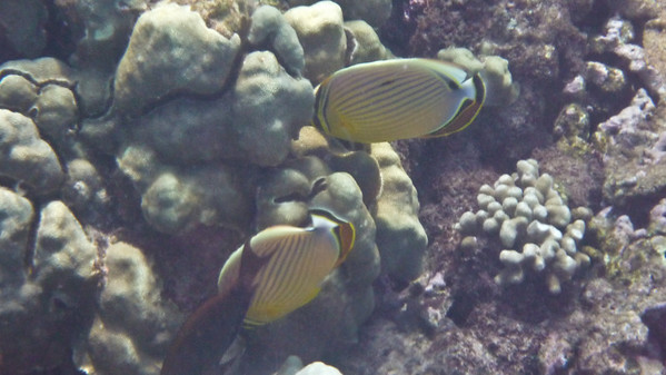 HawaiiFish- Oval or Redfin Butterflyfish
