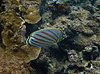 Ornate Butterfly Fish - Kapalua Bay