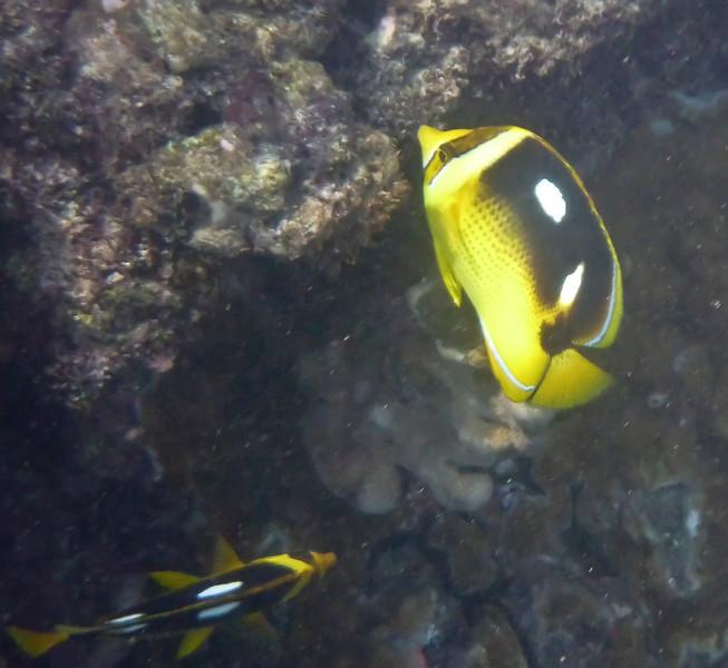 Fouspot Butterflyfish