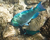 Stareye Parrotfish Supermale