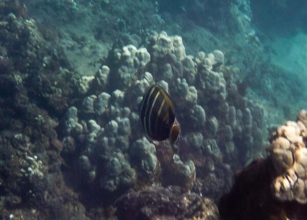 Salfin Tang<br /> Honolua Bay Nov 2009
