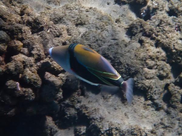Wedgetail Triggerfish.  Also called Picasso Triggerfish - Hawaii State Fish -  Humuhumu nukunuku apua'a