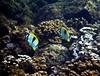 Teardrop Butterflyfish - Kapalua Bay