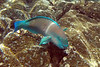 Male Bullethead Parrotfish