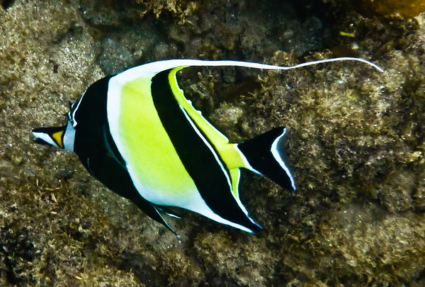 Moorish Idol - 2011 - Kapalua Bay