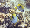 Teardrop Butterflyfish - usually swim in pairs.