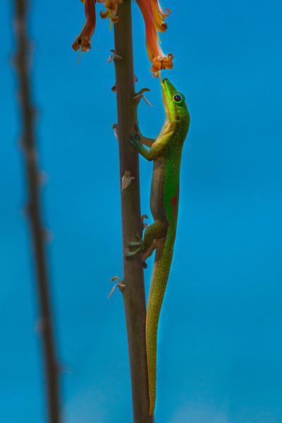 Gecko6075(8x12)