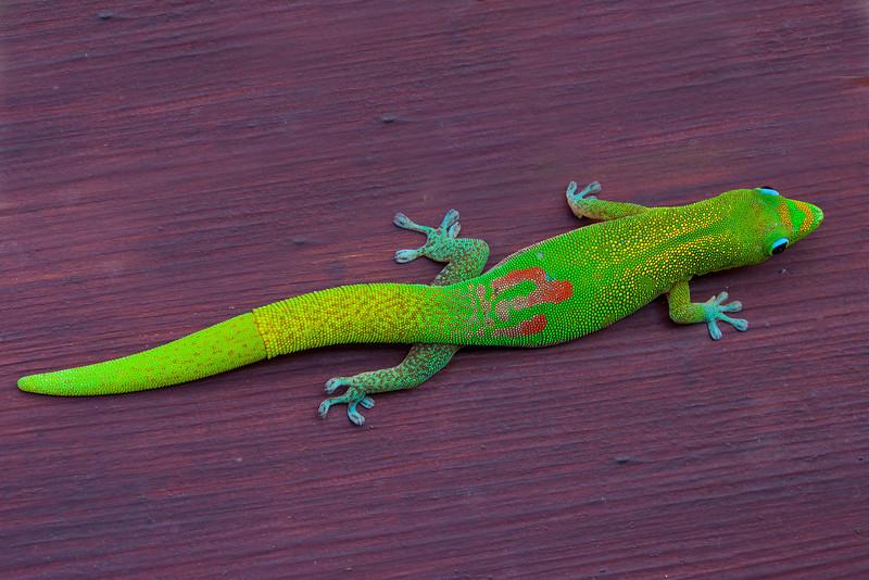 Gecko3130(8x12)
