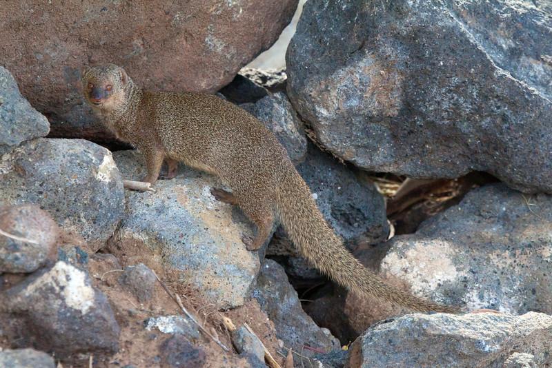 Mongoose6118