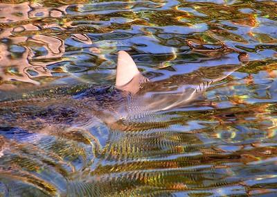 Shark at Mauna Lani