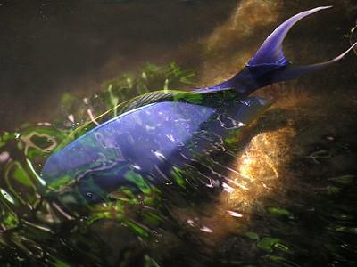 Yellowfin Surgonfish (Pualu) Acanthurus xanthopterus Valenciennes
