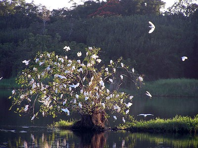 Cattle Egrets  Bulbulcus ibis