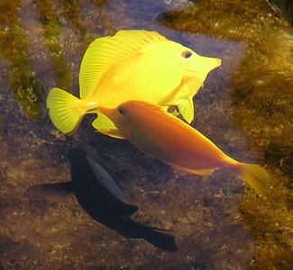 Yellow Tang (lau-i-pala) Zebrasmoa flavescens