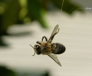 Honey Bee in Web Apis mellifera
