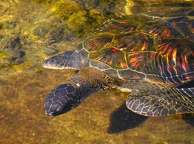 Hawaiian Green Sea Turtle (Honu) Chelonia mydas