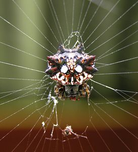 Asian Spiny Backed Spider Gasteracantha mammosa