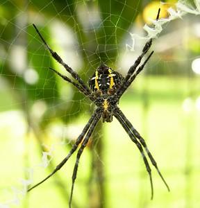 Garden Spider Argiope appensa