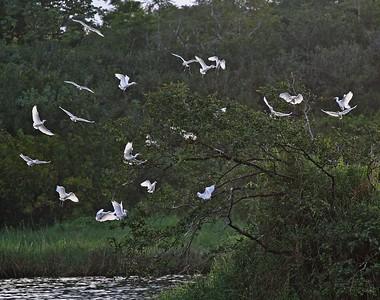 Cattle Egrets Bubulcus ibis