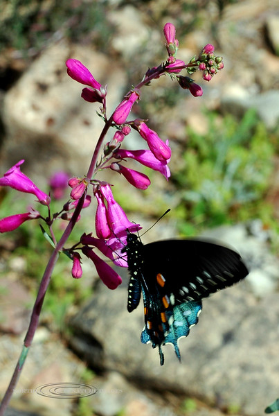 Butterfly-Battus philenor, Pipevine Swallowtail 2007.3.7#0025. Desert Museum Tucson Arizona.