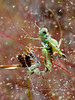 CRICKETS, GRASSHOPPERS, MANTIS-Grasshopper-unknown species 2018.9.22#531. Mingus Mountain Arizona.