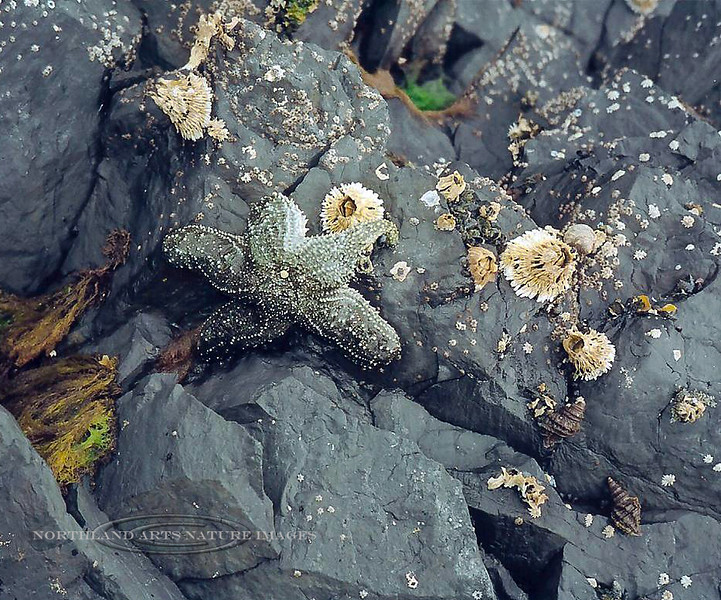 X-MARINE-Sea Star, Mottled Star with Thatched Barnacles & Oregon Tritons. 2003.5#014.4. Pigot Bay, Prince William Sound, Alaska.
