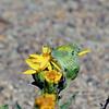 Butterfly-Nathalis iole, Dainty Sulphur 2018.9.28#407. Watson Lake Arizona.