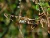 CRICKETS, GRASSHOPPERS, MANTIS-Grasshopper-Unknown species 2018.10.4.#336.3. Santa Rita Lodge, Madera Canyon Arizona.