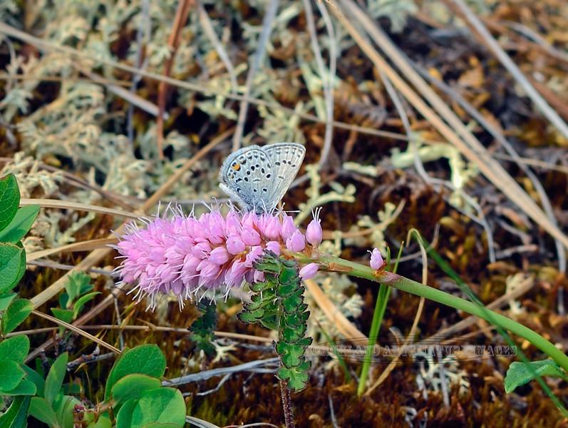BUTTERFLIES-Blue, Western-tailed 2013.6.29#146. Everes amyntuls. Teklanika River valley, Denali Nat. Park Alaska.
