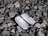 X-MARINE-Clam, Razor Softshell 2005.9.30#0095.2. Siliqua patula. Oil Bay, Alaska Peninsula, Alaska.
