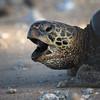 Sea Turtle Yawn