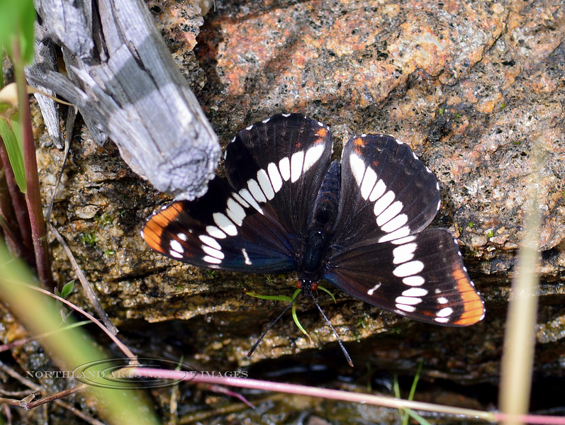 Butterfly-Limenitis Lourquins, Lourquin's White Admiral 2018.7.1#3700. Lolo Pass, Montana.