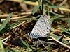 Butterfly-Blue, Marine 2018.5.2#1168. Leptotes marina puddling in a wet area near Procter Trail.  Madera Canyon Arizona.
