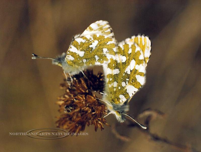 Butterfly-Large Marble 1995.5#019. Mount Healy, Denali Nat. Park Alaska.
