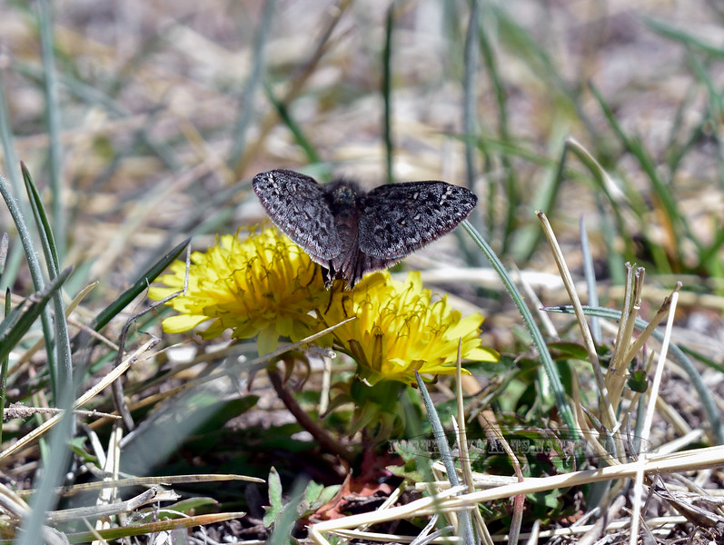Butterfly, Pholisora Catullus, Common Sootywing 2018.4.26#074. Kaibab Forest Arizona.