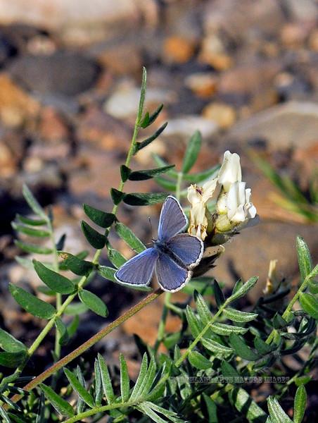 BUTTERFLIES-Blue, Yukon 2009.7.2#2. Vaccinina optilete .Teklanika River, Denali Nat. Park Alaska.