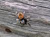 SPIDER-Johnson's Jumping Spider 2018.7.4#4291. Phidippus johnsoni. Yellowstone Nat. Park, Wyoming.
