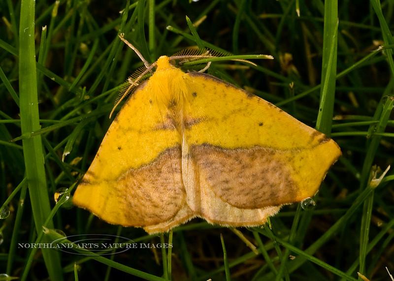 Moth-Sicya macularia 2008.8.19#024, the Sharp-lined Yellow Moth. Anchorage Alaska.