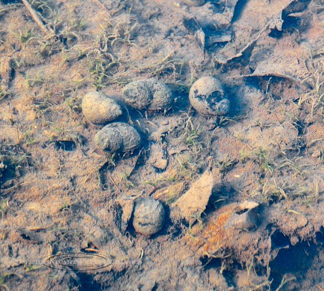 X-FRESH WATER-Snail, Chinese mystery snail, maybe 2008.4.25#517.3. Cipangopaludina sp. An invasive species. North branch of Neshaminy Creek below the Lake Galena Dam, Peace Valley, Bucks County, PA.