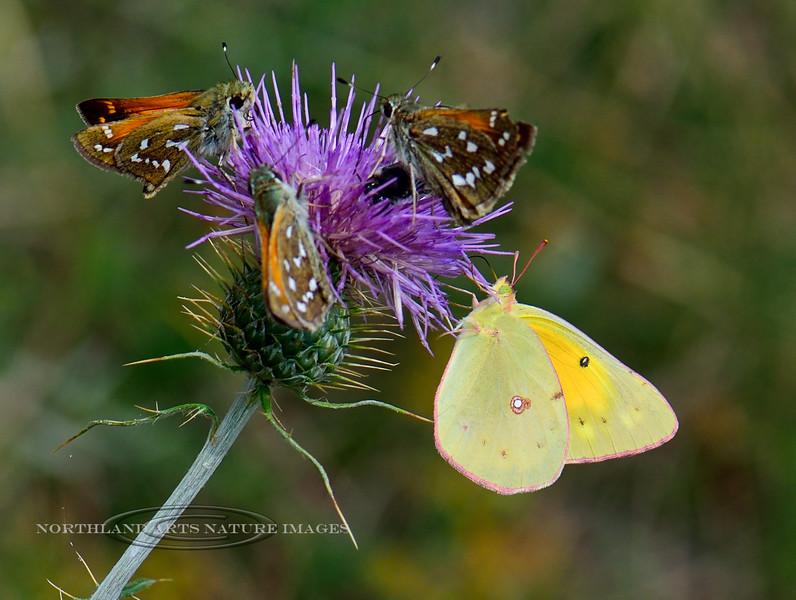 Butterfly-Colias Eurythheme, Orange Sulphur 2018.9.22#726. With three Common Branded Skippers on a Wheeler's Thistle. Mingus Mountain Arizona.