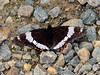 Butterfly-Admiral, White 2016.7.3#090. Limenitis arthemis rubrfadciata. The Arctic var. of the White Admiral. Delta River, near Fort Greely Alaska.