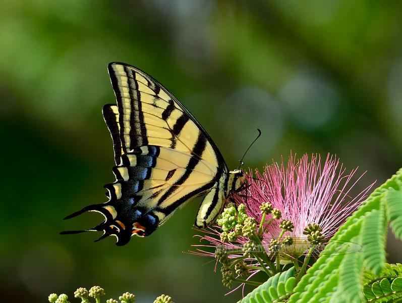 Butterfly-Papilio multicaudata, Two-tailed Swallowtail 2017.6.6#130. Prescott Valley Arizona.