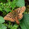 Butterfly-Boloria species, Fritillary 2016.7.2#036. Tern Lake, Kenai Peninsula Alaska.