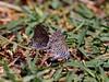 Butterfly-Leptotes marina, Marine Blue 2018.5.2#1167. Procter Trail. Madera Canyon Arizona.