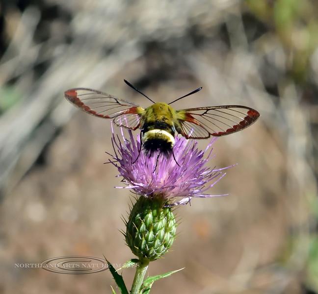 MOTH-Hummingbird Clearwing Moth2020.8.7#3068.3. Hemaris diffinis. Mingus Mountain, Arizona.