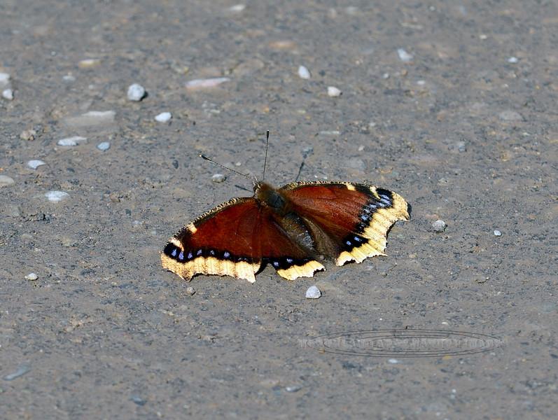 Butterfly-Nymphali antiopa, Mourning Cloak 2017.8.28#002. Denali Nat. Park Alaska.