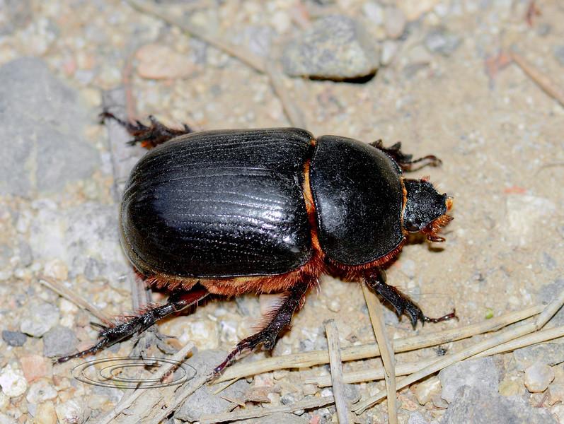 Beetle-Onthophagus Taurus, Dung Beetle 2017.8.23#012. Prescott Valley Arizona. #823.012.